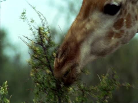 CU Giraffe (Giraffa camelopardalis) eating from thorny branch, Botswana