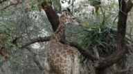 Giraffe feeds from tree.