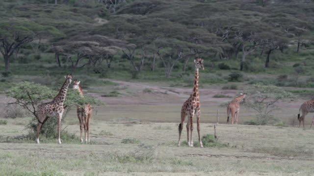 giraffe group eating, others are walking