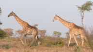 WS Giraffe herd  walking  / Central Kalahari Game Reserve, Botswana