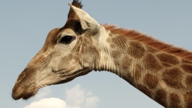 MS Giraffe / Johannasburg, South Africa