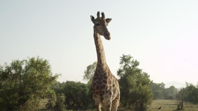 MS PAN Giraffe / Johannasburg, South Africa