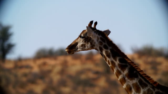 CU Giraffe licking her mouth / Namibia