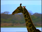 Giraffe looking at camera + turning around / starts walking / Africa