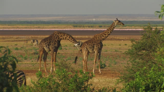 Giraffe (Giraffa camelopardalis) male courting female, Lake Manyara, Tanzania