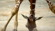 giraffe sit down hand move head and long neck to eat grass on ground