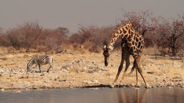 A giraffe strived to drink from a waterhole at Etsoha National Park in Namibia.