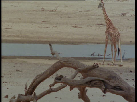 Giraffe walks away from camera towards pool
