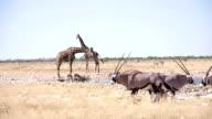WS PAN Giraffes And Gemsboks By The Waterhole