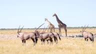 LS Giraffes And Gemsboks Drinking Water