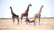 LS Giraffes And Zebras In African Savannah