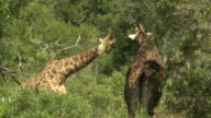 Giraffes fight in a thicket