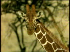 Giraffe's head bobs up and down as he walks past trees Africa