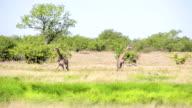 WS Giraffes In African Savannah