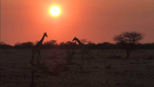 Giraffes in the African Bush at Sunset