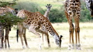 Giraffes Licking (or Eating) freshly killed Wildebeest Skull