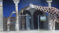 MS Giraffes standing in front of giraffes´ house in zoo, Berlin, Germany