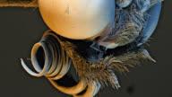 'Glasswing butterfly head, SEM'