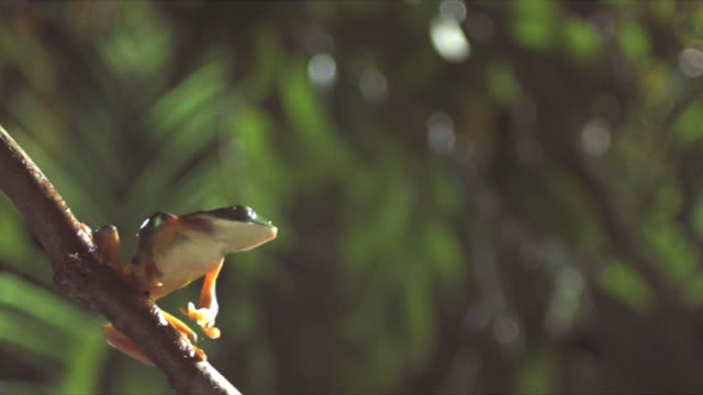 A gliding leaf frog leaps from a branch. Available in HD.