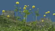 globeflower, globe crowfoot, Trollius europaeus