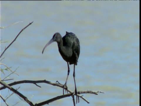 Glossy ibis balances on thin twigs, Diamantina, Queensland, Australia
