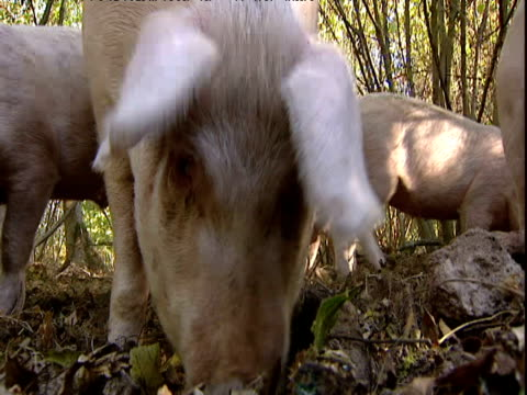 Gloucester old spot pigs snuffle and forage on forest floor