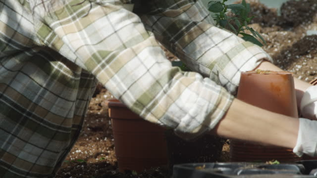 LS CU gloved hands of woman removing three small plants from their pots and combining them into a biger pot to form a bush, RED R3D 4K