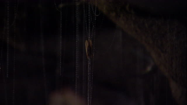 Glow worms in a cave haul up prey caught in its sticky snare line. Available in HD.