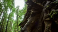 Gnarled Tree Roots, Armstrong Woods, California - Motion Time Lapse