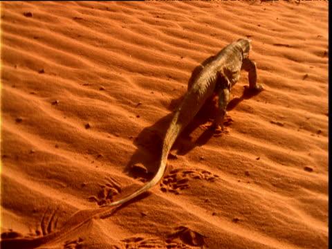 Goanna leaves tracks in sand as it crosses outback, Australia