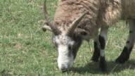 Goat 3 - HD 1080/30f