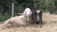 Goat 5 - HD 1080/30f