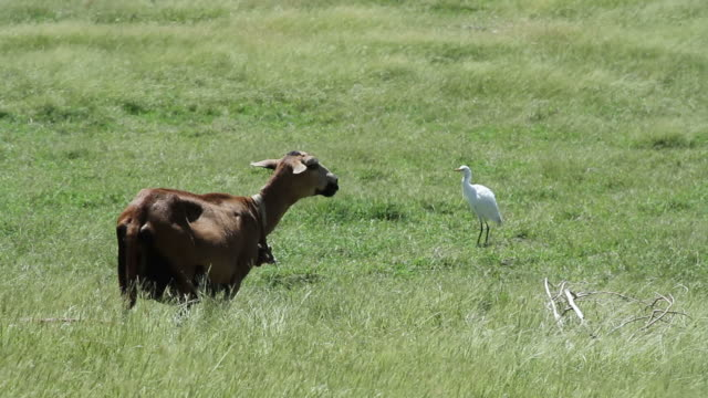 A goat and a bird rest on a hill in Barbados