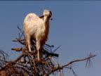 Goat balanced in tree looking uncomfortable Morocco