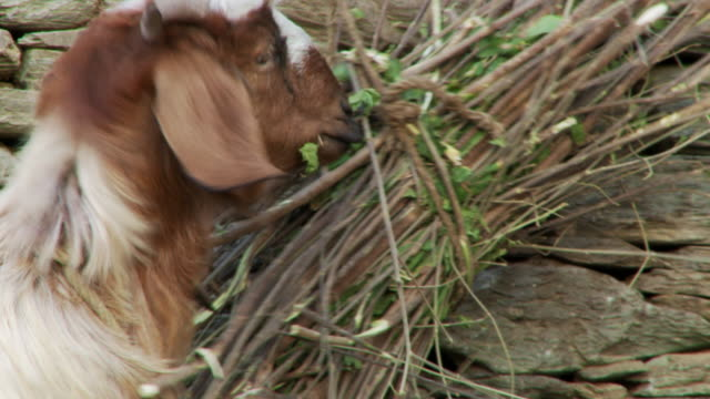 Goat eating twigs
