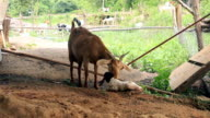 Goat mother cleaning her newborn in local farm