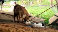 Goat mother cleaning her twin newborn in local farm