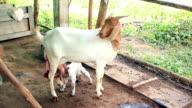 Geit moeder voeden haar pasgeborene met melk in lokale farm