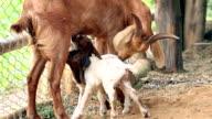 Geit moeder voeden haar pasgeboren tweeling met melk in lokale farm