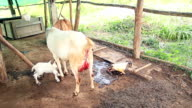 Goat mother feeding with milk and cleaning her twin newborn in local farm