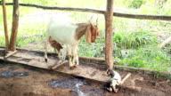 Moeder geit voeden met melk en het schoonmaken van haar pasgeboren tweeling in lokale farm