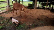 Goat mothers are preparing area to give a second new born