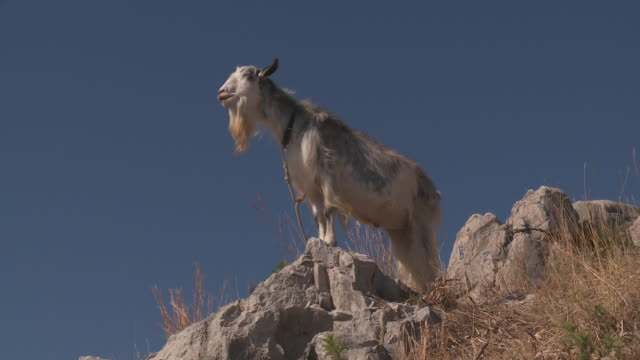 Goat on blue sky
