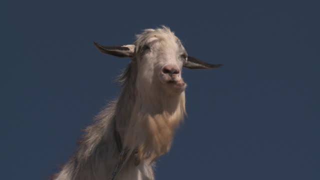 Goat on blue sky.