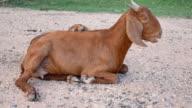 goat relax