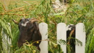 goat with bunch of green lush grass