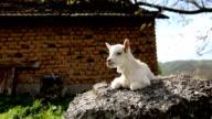 Goatling (HD)