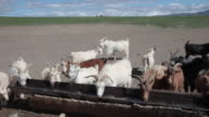 Goats and sheep farm in Gobi desert, Mongolia