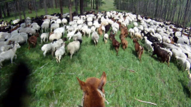 Goats and sheeps entering woods being led by shepperd riding horse