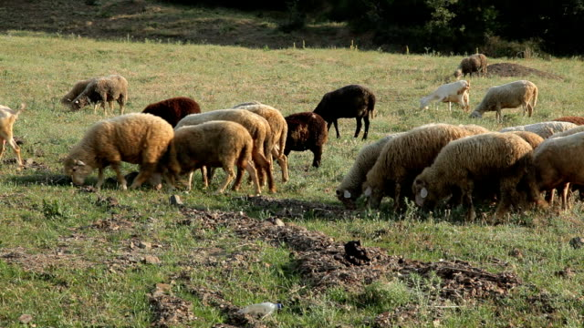 Goats and sheeps grazing on a meadow